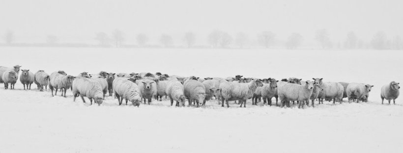 Black and white image of a flock of sheep in a snowy field